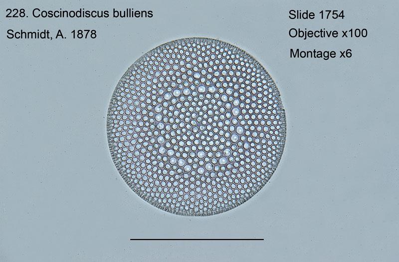 228. Coscinodiscus bulliens