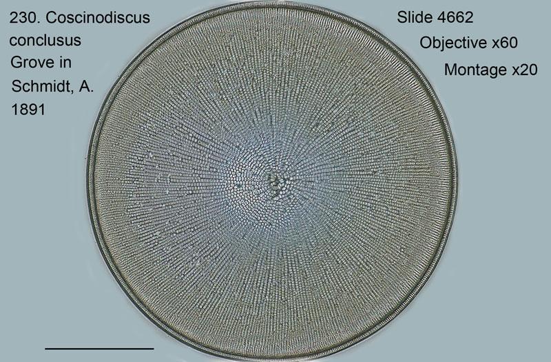 230. Coscinodiscus conclusus