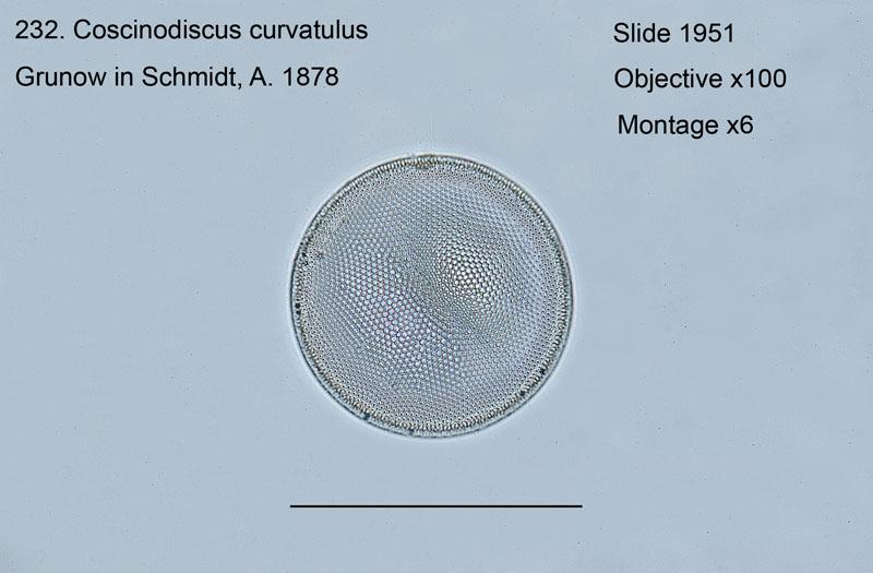 232. Coscinodiscus curvatulus