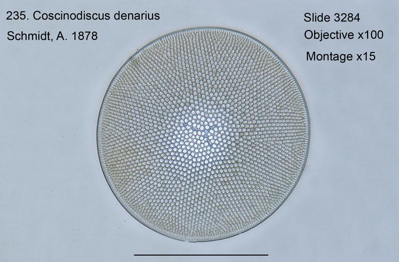 235. Coscinodiscus denarius