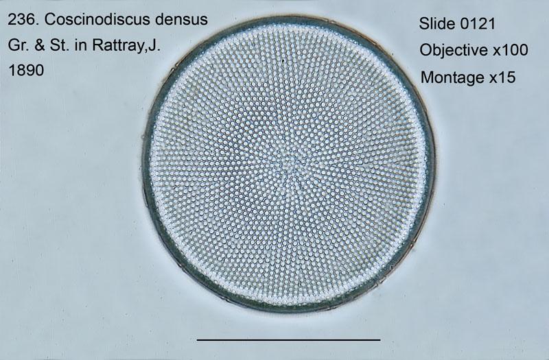 236. Coscinodiscus densus