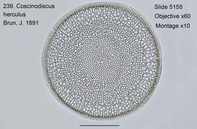 239. Coscinodiscus herculus
