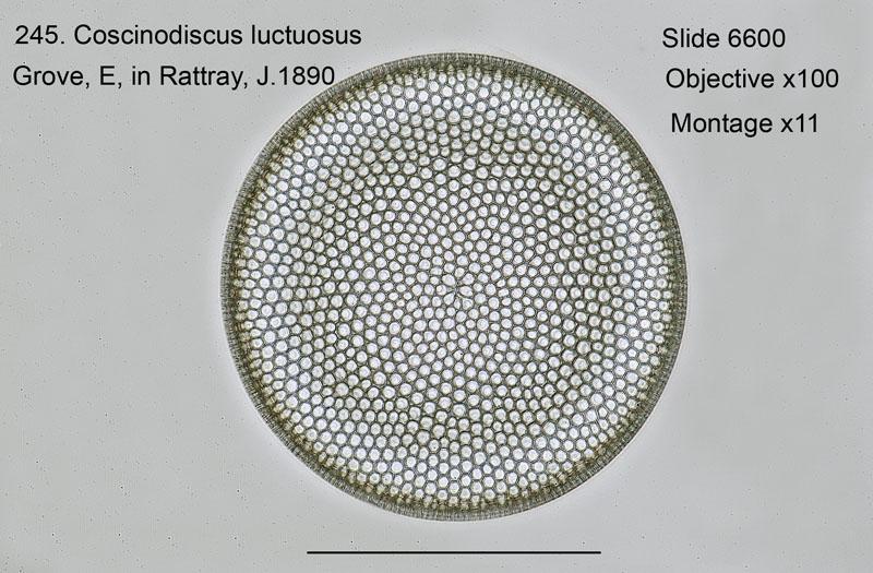 245. Coscinodiscus luctuosus
