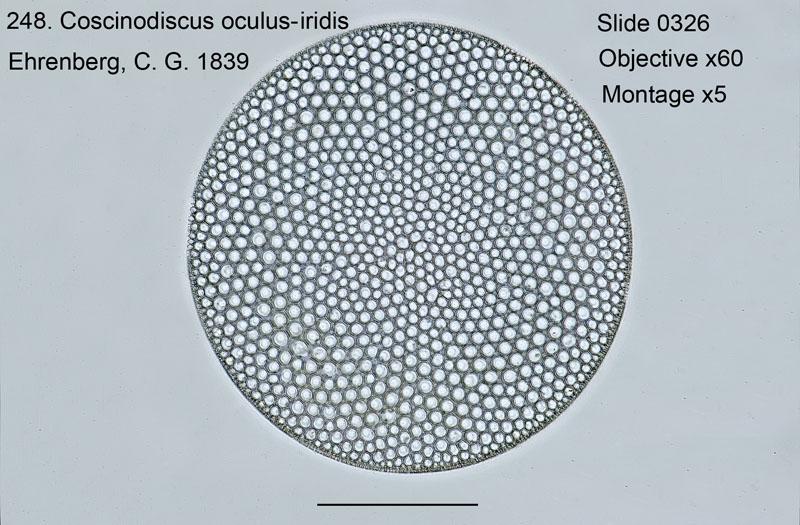 248. Coscinodiscus oculus - iridis