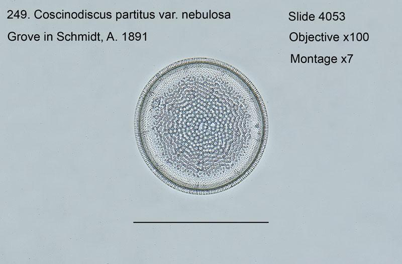 249. Coscinodiscus partitus