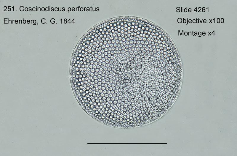 251. Coscinodiscus performatus
