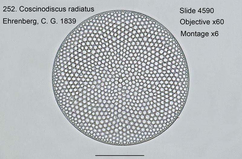 252. Coscinodiscus radiatus