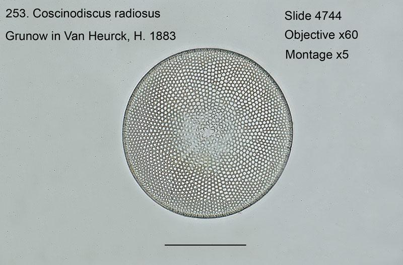 253. Coscinodiscus radiosus