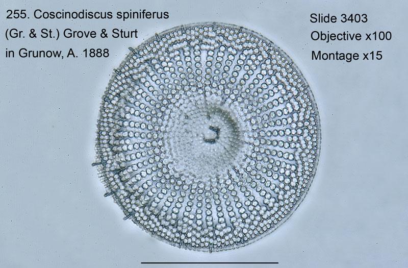 255. Coscinodiscus spiniferus