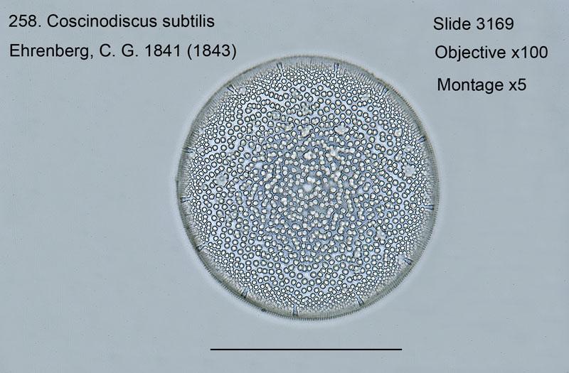 258. Coscinodiscus subtilus