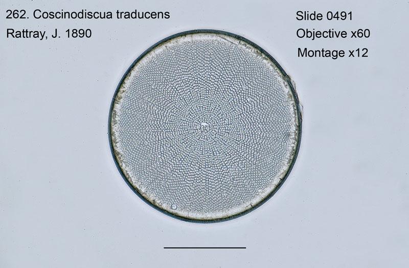 262. Coscinodiscus traducens