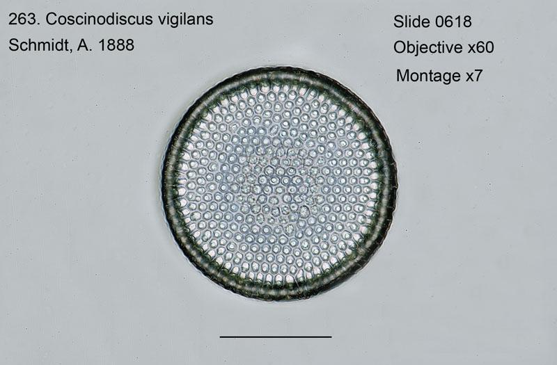 263. Coscinodiscus vigilans