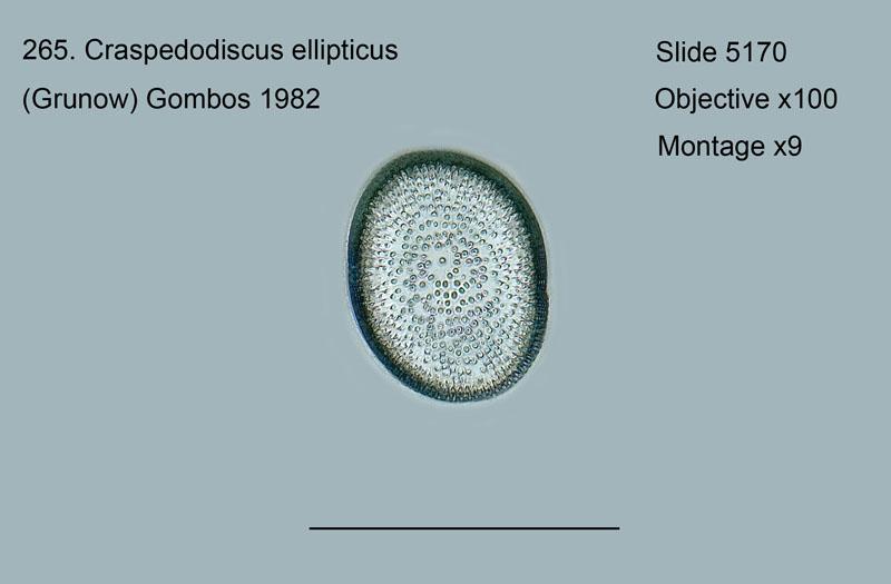 265. Craspedodiscus ellipticus