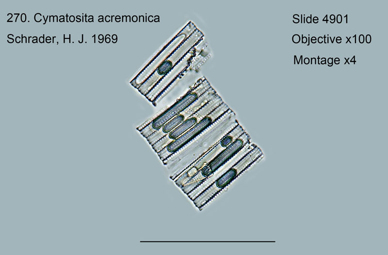 270. Cymatosira acremonica