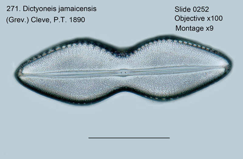 271. Dictyoneis jamaicensis