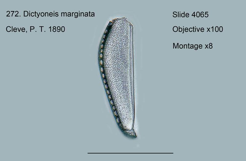 272. Dictyoneis marginata