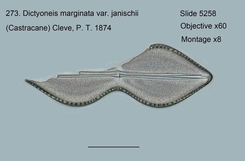 273. Dictyoneis marginata var. janischii