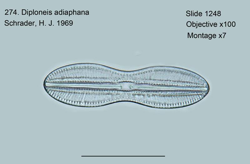 274. Diploneis adiaphana