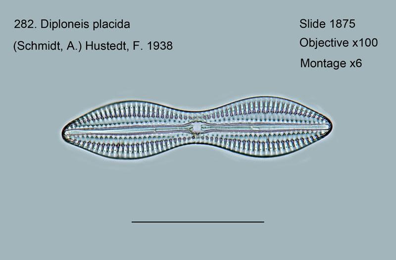 282. Diploneis placida