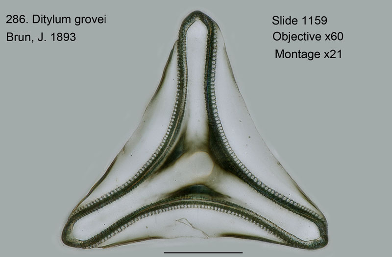 286. Ditylum grovei
