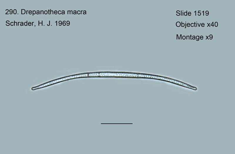 290. Drepanotheca macra