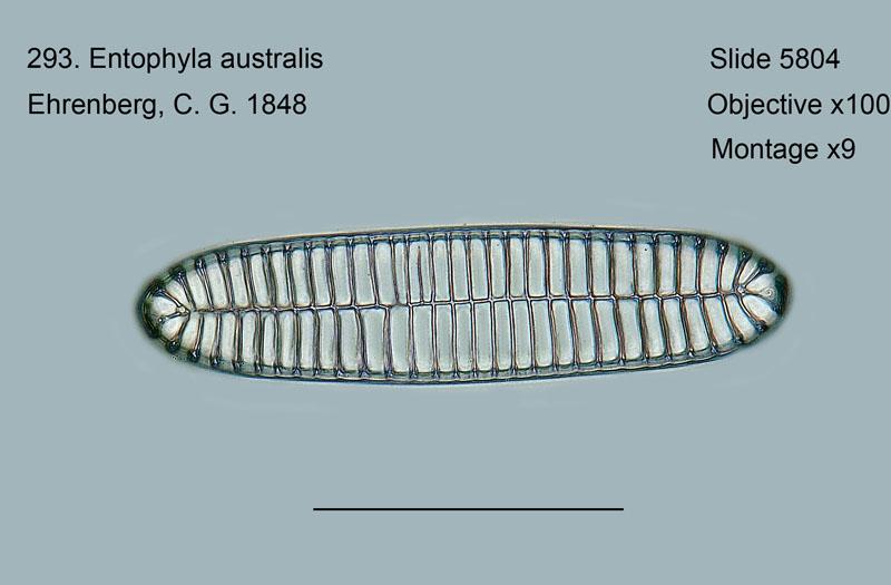 293. Entophyla australis