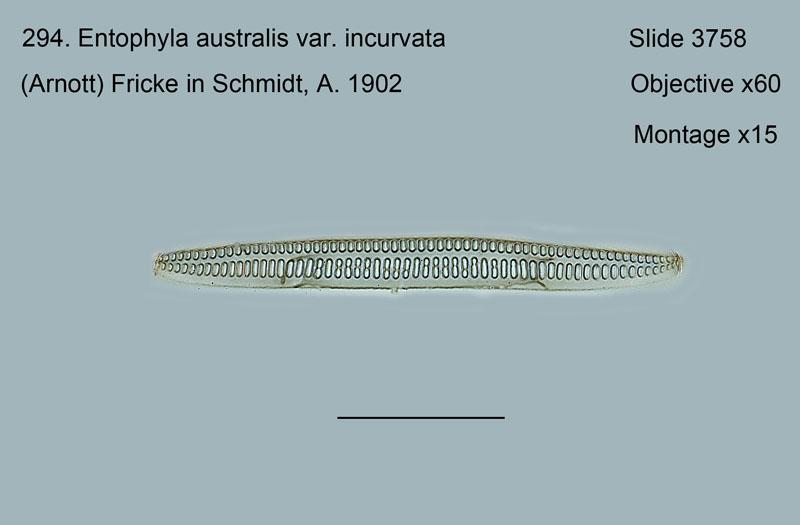 294. Entophyla australis var. incurvata