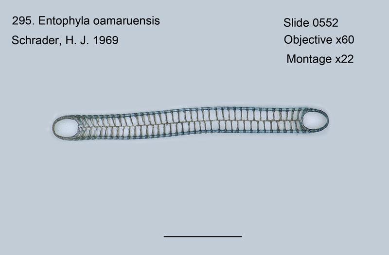 295. Entophyla oamaruensis