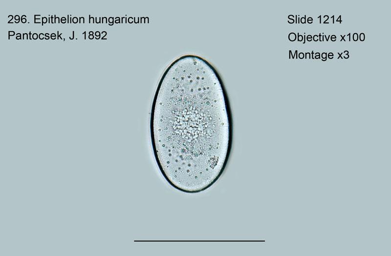 296. Epithelion hungaricum