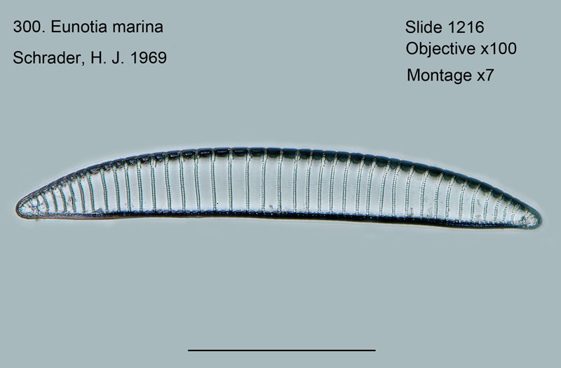 300. Eunotia marina
