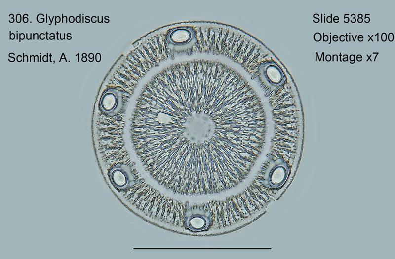 306. Glyphodiscus bipunctatus
