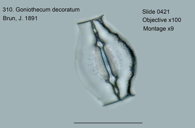 310. Goniothecium decoratum