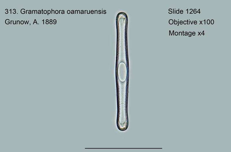 313. Gramatophora oamaruensis