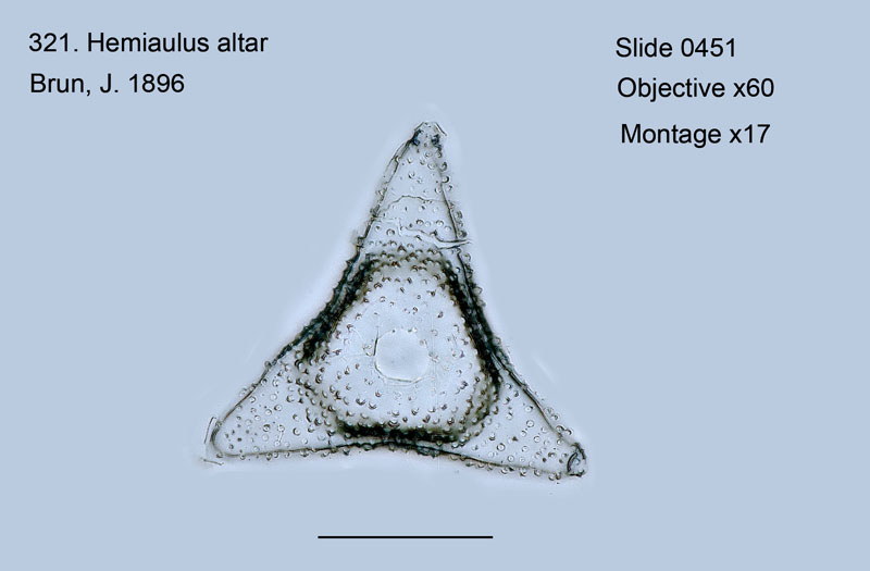 321. Hemiaulus altar