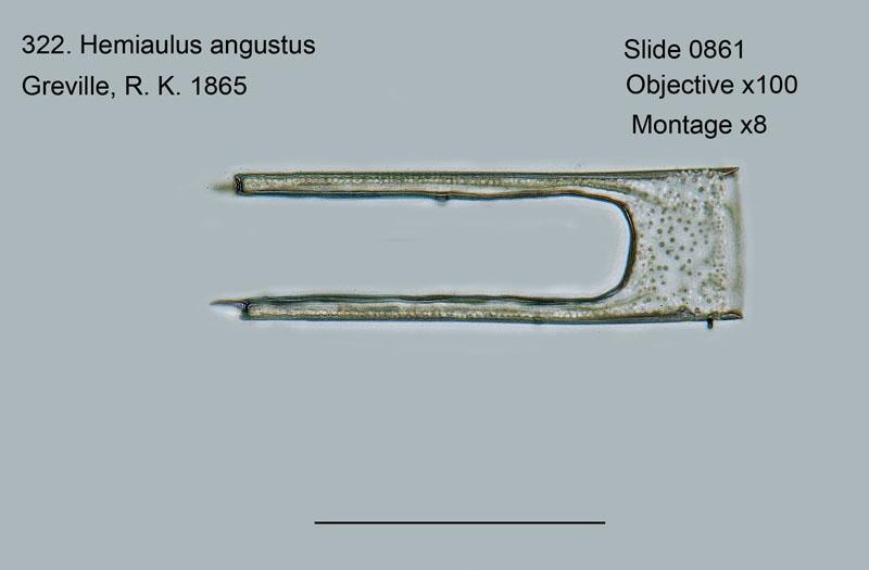 322. Hemiaulus angustus