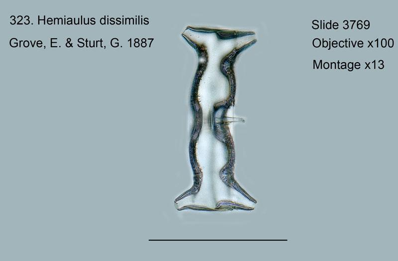 323. Hemiaulus dissimilis