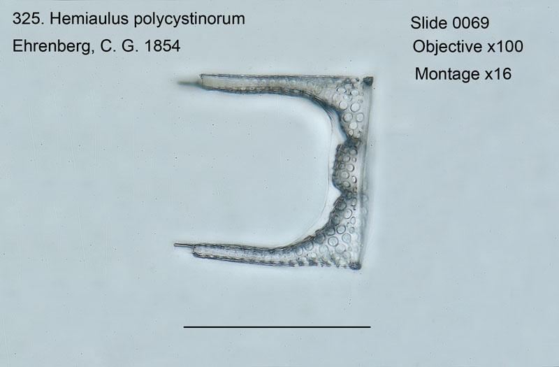 325. Hemiaulus polycystinorum
