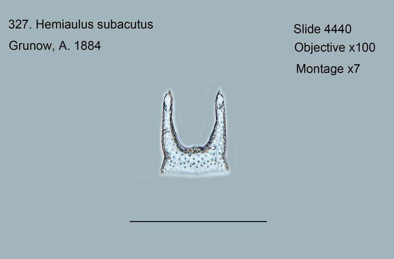 327. Hemiaulus subacutus