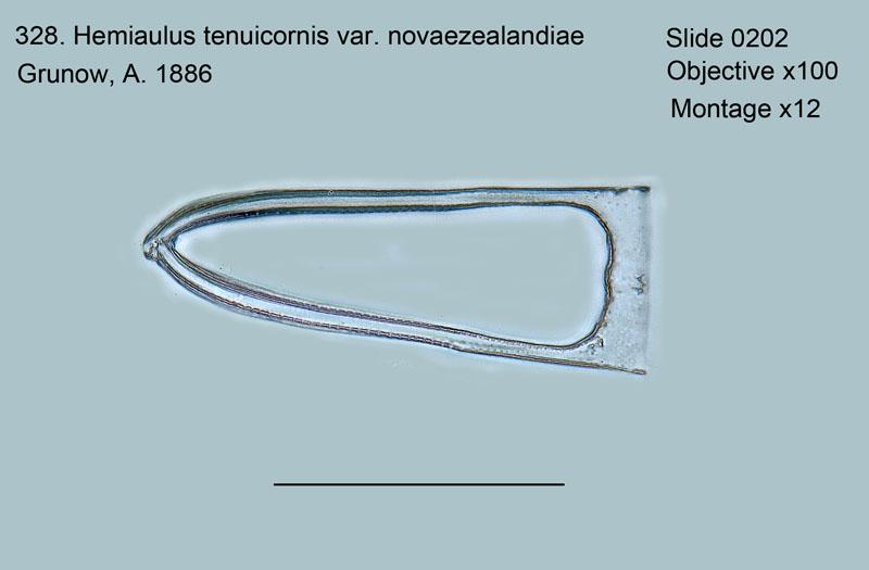 328. Hemiaulus tenuicornis var. novaezealandiae