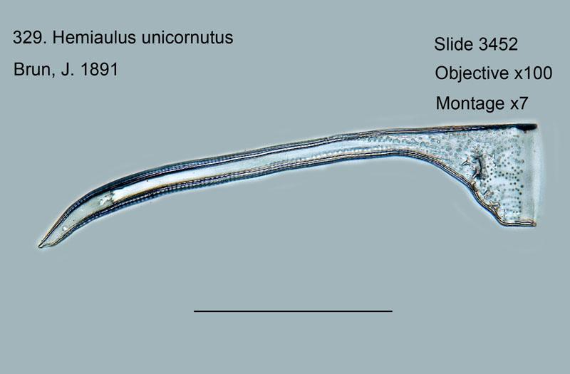 329. Hemiaulus unicornutus