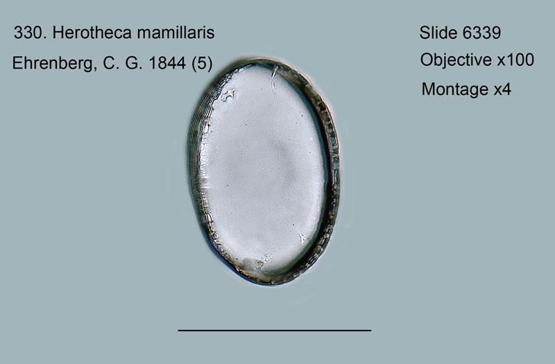 331. Herotheca oamaruensis