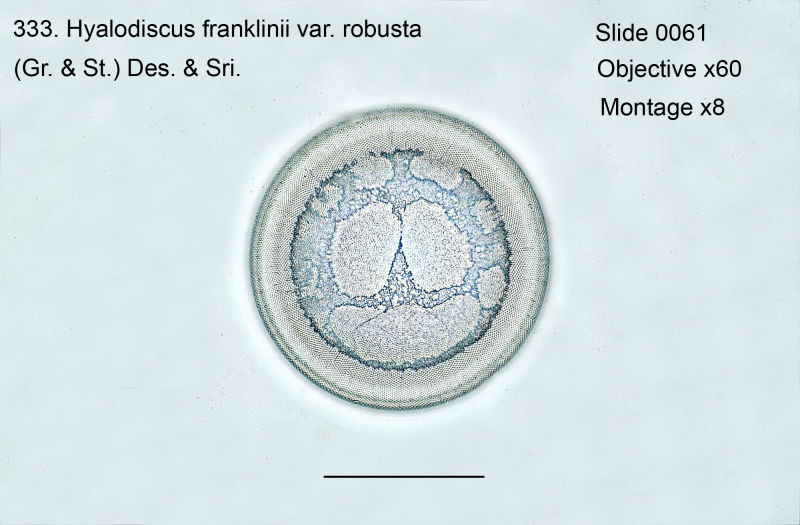 333. Hyalodiscus franklinii var. robusta