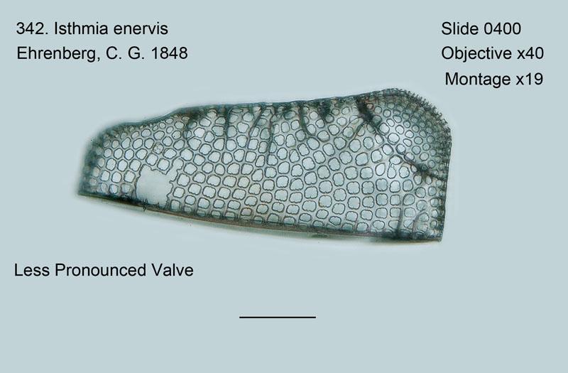 342. Isthmia enervis. Less pronounced valve