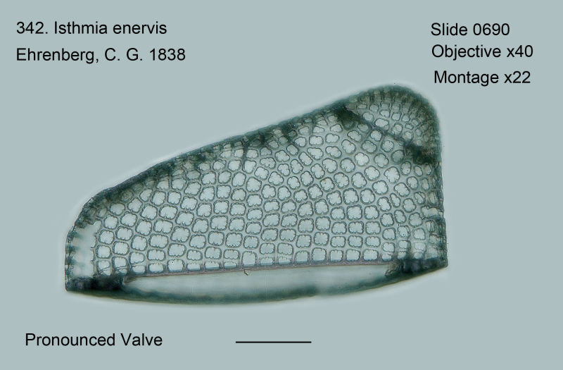 342. Isthmis enervis. Pronounced valve