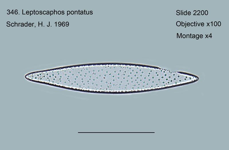 Leptoscaphos pontatus