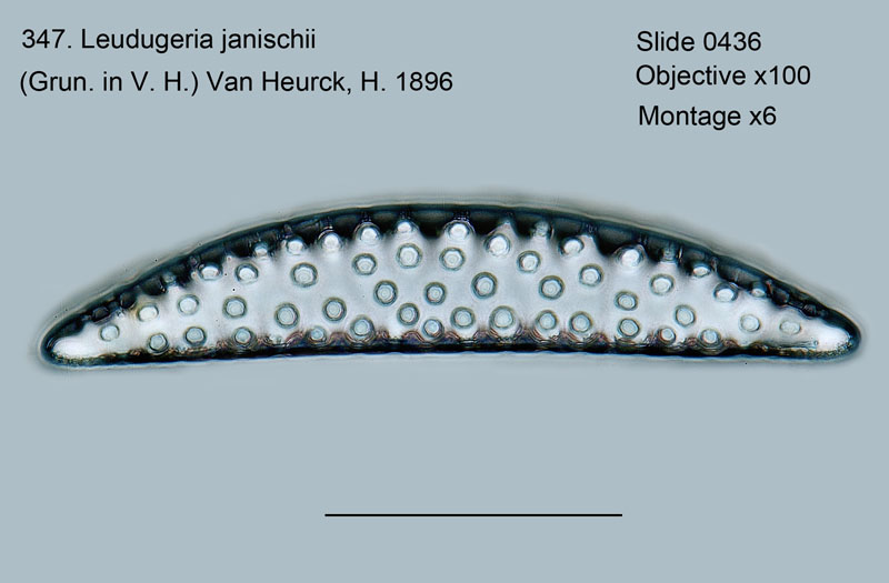 347. Leudugeria janischii