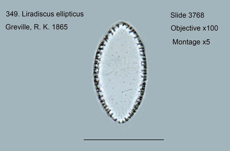 349. Liradiscus ellipticus