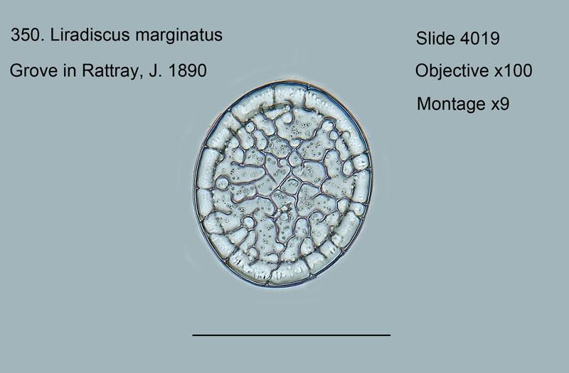 350.Liradiscus marginatus