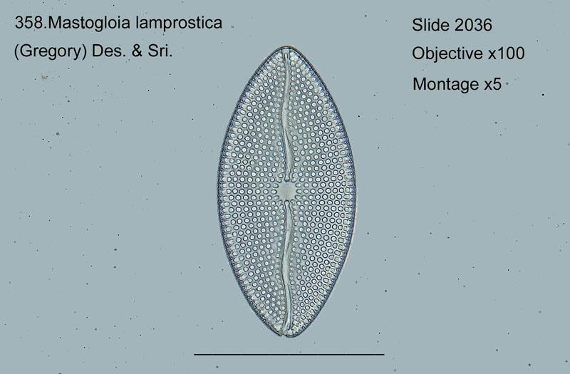 358. Mastogloia lamprostica