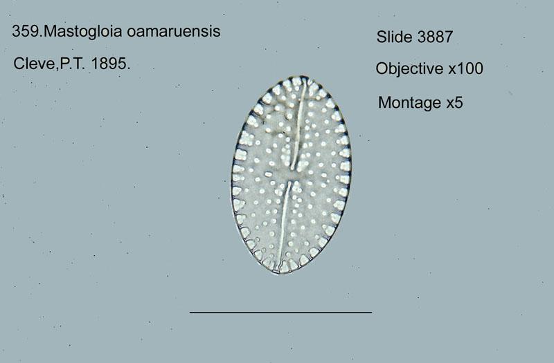 359. Mastogloia oamaruensis